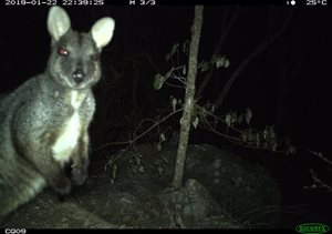 <br/>Herbert's rock wallaby in rocky vine thicket