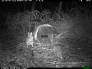 Two Eastern Bettongs near a trap set by PhD candidate Kirstin Proft. Photo Kirstin Proft.<br/>