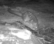 Photo taken in a camera trap in 2008 on Carnarvon. Unfortunately we're not able to confirm a population on the reserve by this one photo.<br/>