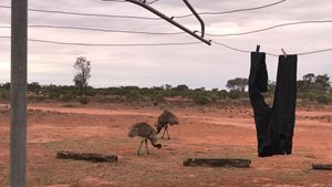 <br/>Emus at the clothesline. Photo: Helen McCann
