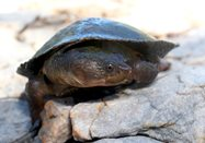 Huge Gulf Snapping Turtle. Photos Nic Gambold.<br/>