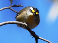 Striated Pardalote. Photo by Jeroen van Veen<br/>