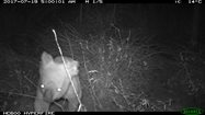 Koala caught on remote camera at neighbouring Avocet.<br/>