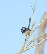 Blue-breasted Fairy-wren<br/>