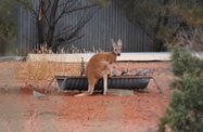 A thirsty red kangaroo joins the pigeons at the trough. Photo Julia Harris.<br/>