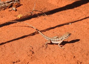 Hey good looking ... a Lozenge-marked Dragon at Hamelin Station Reserve, Guthuugudu (Shark Bay). Photo Richard McLellan.<br/>