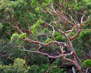 <br/>Angophora costata, the Sydney Red Gum.  Pic: WikiCommons