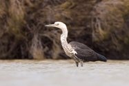 White-necked Heron. Photo by Ben Parkhurst.<br/>Waterbirds such as these have become a common feature at Eurardy.
