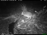 An Eastern Bettong carrying leaves in its prehensile tail! Photo: Kirstin Proft. <br/>