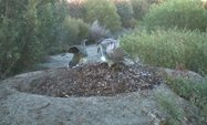 Image #2: A pair of Malleefowl working on their mound.<br/>