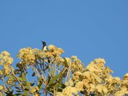 Black Honeyeater<br/>