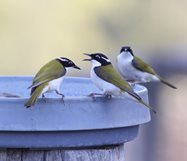 White-throated honeyeaters<br/>