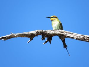 Rainbow Bee-eaters<br/>Photo by Beth Hales