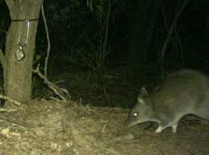 <br/>A long-nosed bandicoot in vine thicket. This record is now the most western for this species in southern Queensland