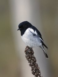 Hooded robin (by David Cook Wildlife Photography).<br/>