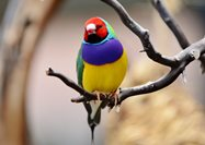 The Gouldian Finch (Erythrura gouldiae).<br/>Photo by R A Kilmer https://flic.kr/p/mNE1WG  CC https://creativecommons.org/licenses/by-nc/2.0/