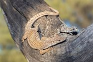 Stripe-tailed Goanna (Varanus caudolineatus). Photo Ben Parkhurst.<br/>
