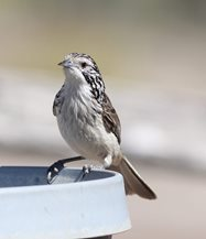 Striped honeyeater<br/>
