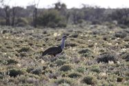 An Australian Bustard, which is listed as vulnerable in South Australia.<br/>
