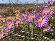Purple of Shark Bay Daisies (Pembertonia latisquamea). Photo: Richard McLellan @RichardMcLellan.<br/>