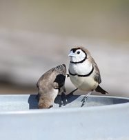 Double-barred finches take a sneaky sip<br/>
