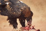 Wedge-tailed Eagle.<br/>