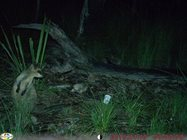Swamp wallaby.<br/>