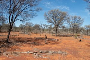 Mulga trees on Naree.<br/>Photo by Janet White