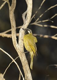 White-eared Honeyeater<br/>