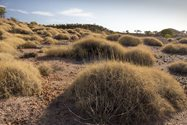 Spinifex at Pullen Pullen Reserve provides habitat for the critically endangered Night Parrot. Photo Annette Ruzicka.<br/>