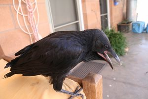 Orphaned raven. Photo Julia Harris.<br/>