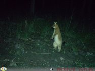 Alert Brushtail possum.<br/>
