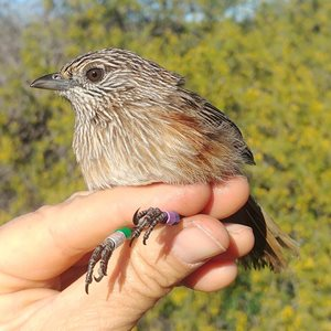 Female western grasswren, showing off her bright colour bands. Notice her rufous flanks. Photo: Aline Gibson Vega.<br/>