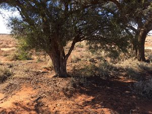 Bullock bush on Boolcoomatta showing low hanging foliage and ...<br/>