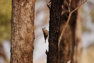 <br/>A Brown Treecreeper at Nardoo Hills. Photo by Ian Mayo