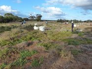Filling bags with weeds to be taken off-site <br/>Photo by Barry Dufall
