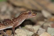 A Box-pattern Gecko (also known as Steindachner's Gecko) licking its eyeball.<br/>
