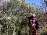 Senior Ranger Lena Long collecting Walku, Quandong, Santalum acuminatum.<br/>