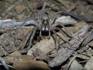 Wolf Spider <br/>Wolf Spider  Family: Lycosidae Photo: Sharon Williams