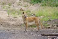 Daytime shot of a dingo on the lower crossing of Sunday Creek. Dingoes are maintained as the top order predator on Yourka Reserve.<br/>Photo by Paul Hales