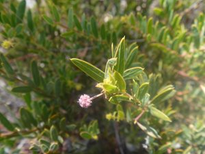 Acacia purpureopetala in flower.<br/>Photo by Paul Williams