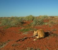 <br/>Motion sensor camera image showing a big feral cat feeding on a carcass. Photo by Emma Spencer.