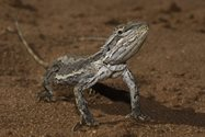 Western Bearded Dragon (Pogona minor). (Photo: Ben Parkhurst). <br/>