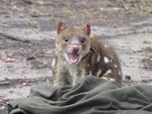 Banzai – a Spotted-tail Quoll.  Photo by Rowena Hamer.<br/>