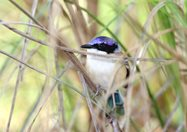Purple-crowned Fairy Wren. Photo Nic Gambold.<br/>