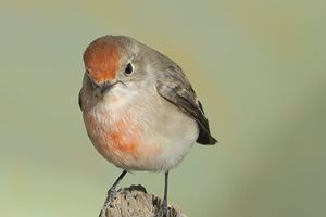 A Red-capped Robin.<br/>