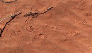 Echidna tracks in the red dirt - Hamelin Station Reserve.<br/>