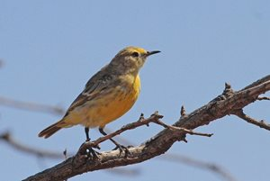 Orange Chats were found often on the Eastern Plains of Boolcoomatta.<br/>