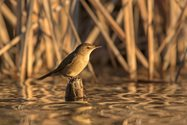 Australian Reed-warbler<br/>Photo Ben Parkhurst