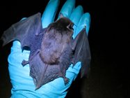 An Eastern Falsistrelle Bat is the largest species of bat in Tasmanian, weighing up to 23.5g.<br/>